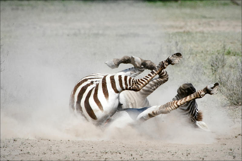 Download Zebra rolling in the dust. stock image. Image of behavior - 16145395