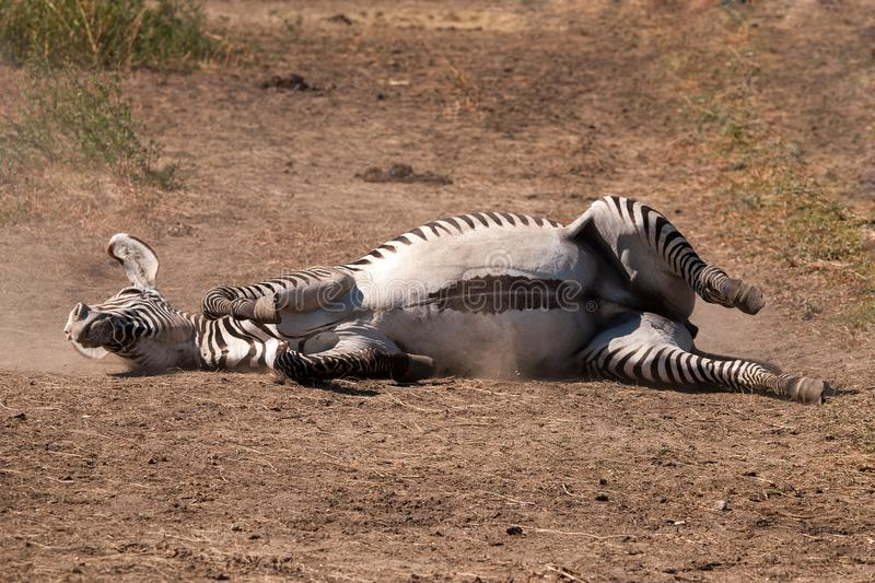 Zebra rolling on dusty ground royalty free stock photography
