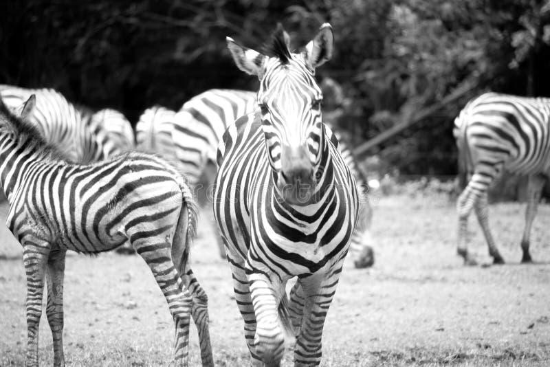 Zebra running black and white backgroud stock photos
