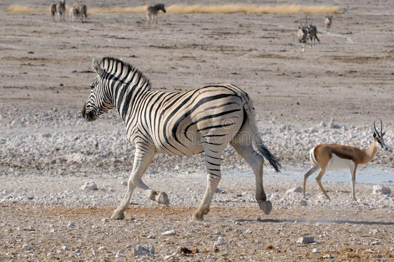 Zebra running, Etosha, Namibia royalty free stock photo