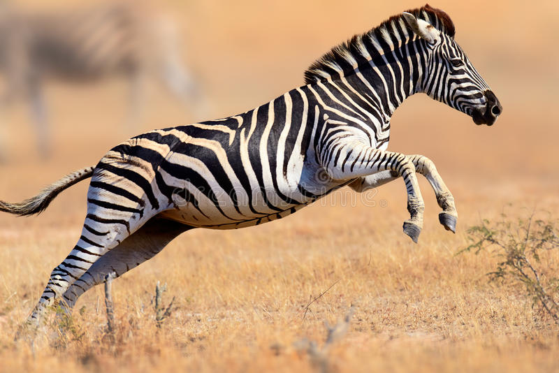 Zebra running and jumping. Zebra (Equus burchell's) running and jumping - Kruger National park (South Africa