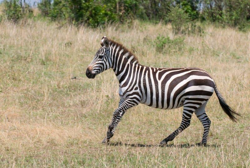 Zebra Running, masai mara, kenya fotos de stock royalty free