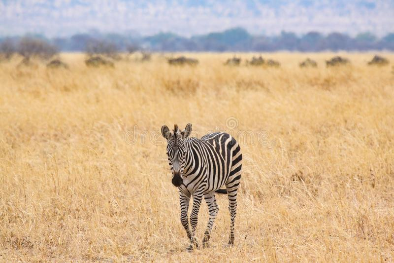 Zebra só imagens de stock royalty free
