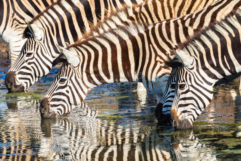 Zebras Four Drinking Mirror Colors. Zebras four drinking with mirror reflections on waters in morning light wildlife park reserve royalty free stock image