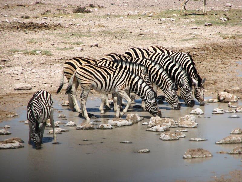 Five zebras drinking water. Zebras in Etosha National Park, Namibië, Africa stock photo
