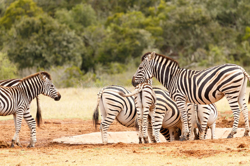 Zebra`s Head resting on her babies back stock image