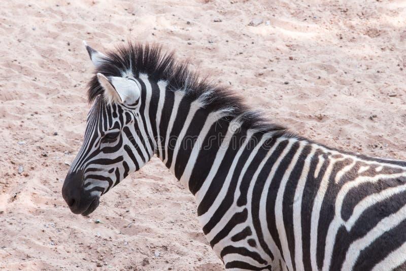 Zebra& x27; s hoofd stock afbeeldingen