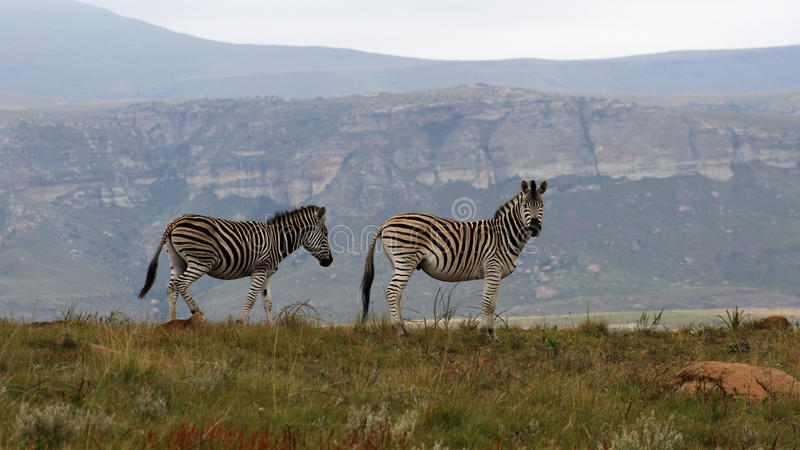Zebra's in the misty Drakensberg mountains. Landscape photo of Zebra's in the misty Drakensberg mountains. Plains zebras have a wide range in east and southern stock images