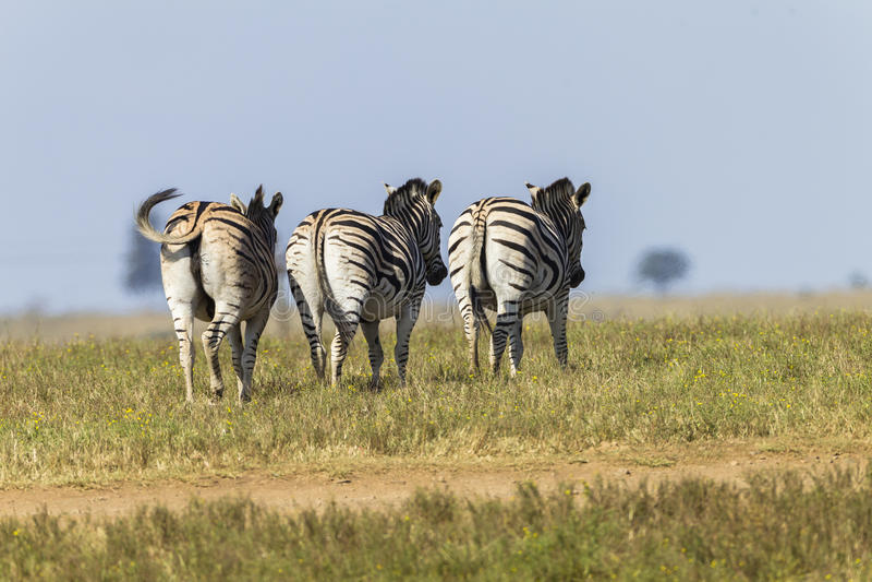 Zebra's Three Wildlife royalty free stock photos
