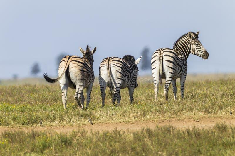 Zebra's Wildlife stock photography