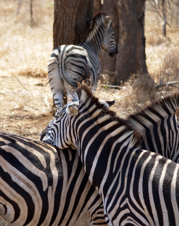 Zebra safari africa. Zebra´s on safari krugerpark africa stock photo