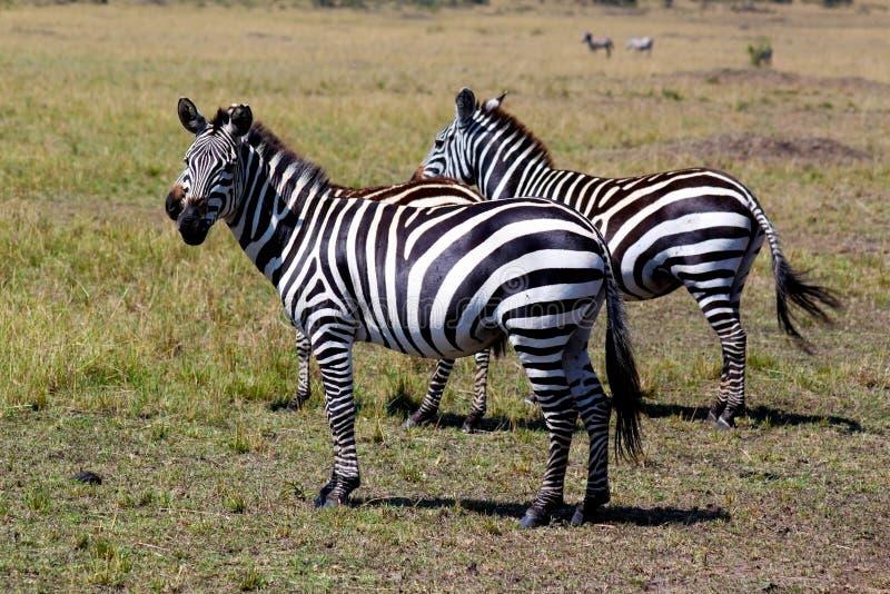 Zebra - safari Kenja fotografia stock