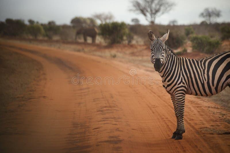 Zebra schaut die Kamera in Kenia lizenzfreie stockbilder