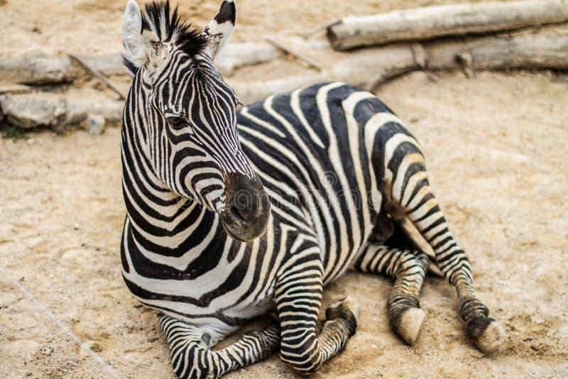 A zebra selvagem está descansando no animal africano da areia imagens de stock
