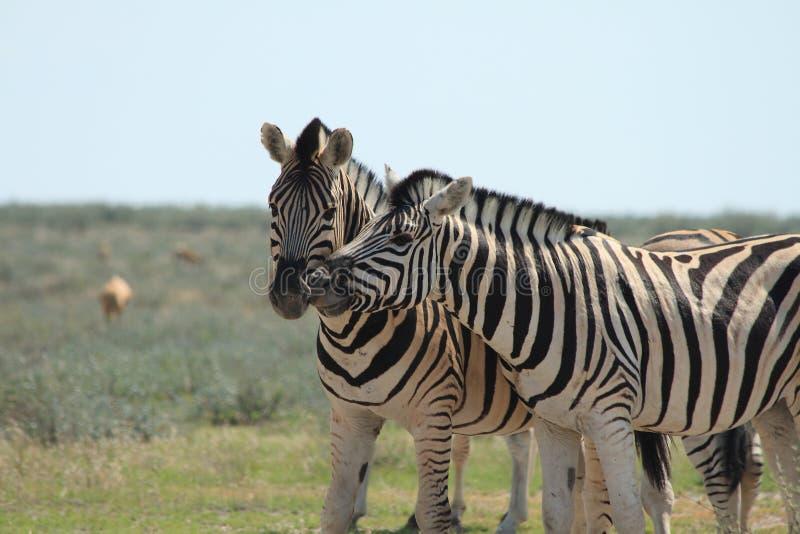 Zebra selvaggia faccia a faccia fotografia stock