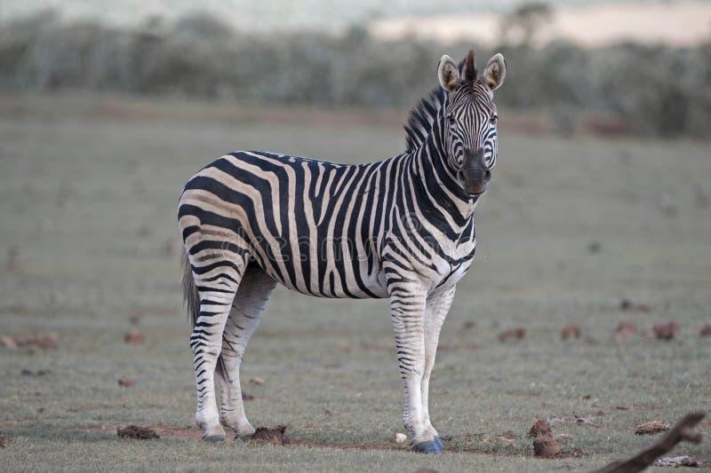 Zebra Sentinal obraz stock