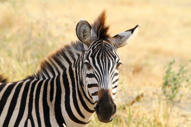 Zebra. At Serengeti National Park, Tanzania royalty free stock images