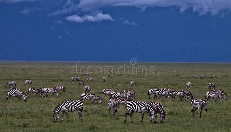 Zebra, Serengeti Plains, Tanzania, Africa Great Migration royalty free stock photography