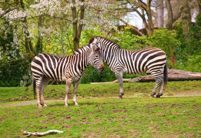 Zebra, Serengeti, Tanzania, Afryka Wschodnia obraz royalty free