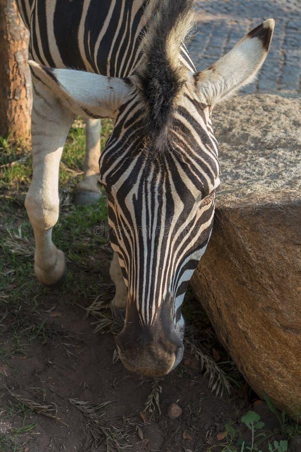 Zebra sew on stone. Lubango. Angola. Animals wild in africa royalty free stock images