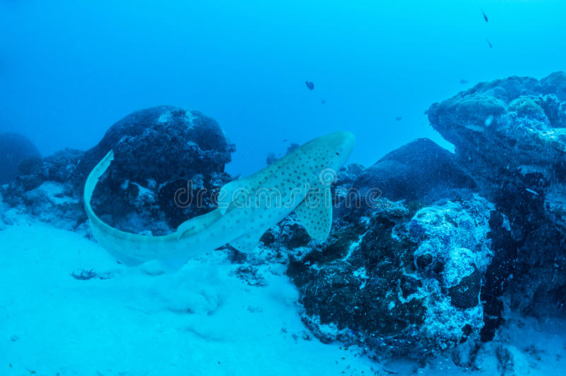 Download Zebra shark stock image. Image of beautiful, light, diving - 27475059