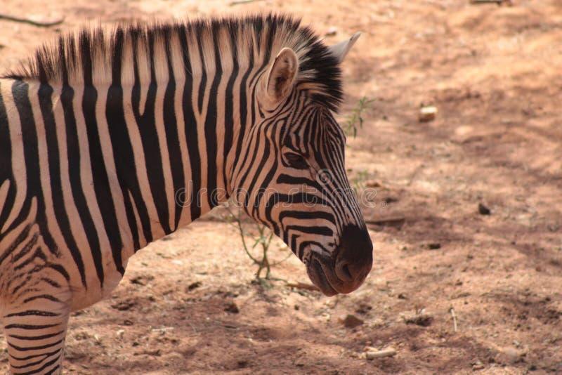Zebra. Side profile Zebra in Johannesburg South Africa royalty free stock photo