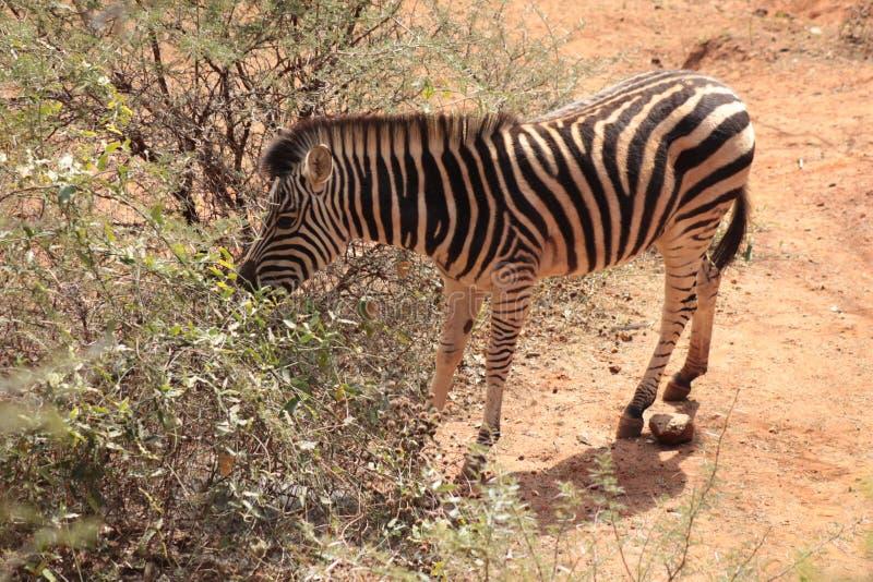 Zebra. Side profile Zebra in Johannesburg South Africa stock images