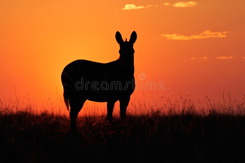 Download Zebra silhouette stock image. Image of morning, south - 30821453