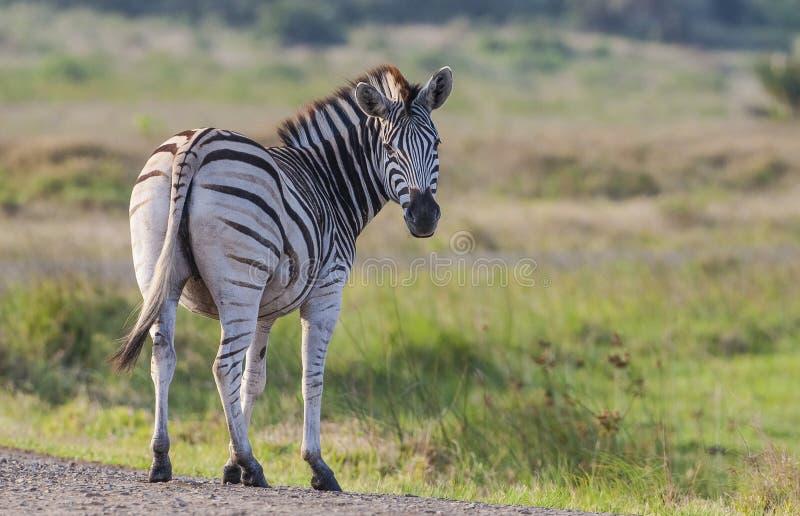 Zebra/Simangaliso Wetland Park fotografie stock libere da diritti