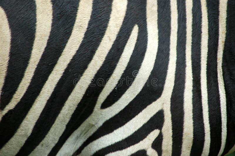 zebra skóry. zdjęcie stock
