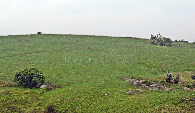 Zebra skłony zdjęcie stock