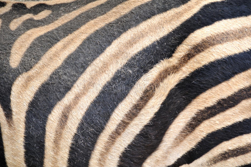 Download Zebra Skin Royalty Free Stock Images - Image: 11396419