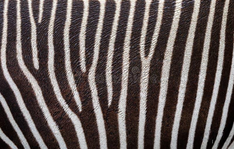 Zebra skin Grevy`s zebra som bakgrund arkivfoton