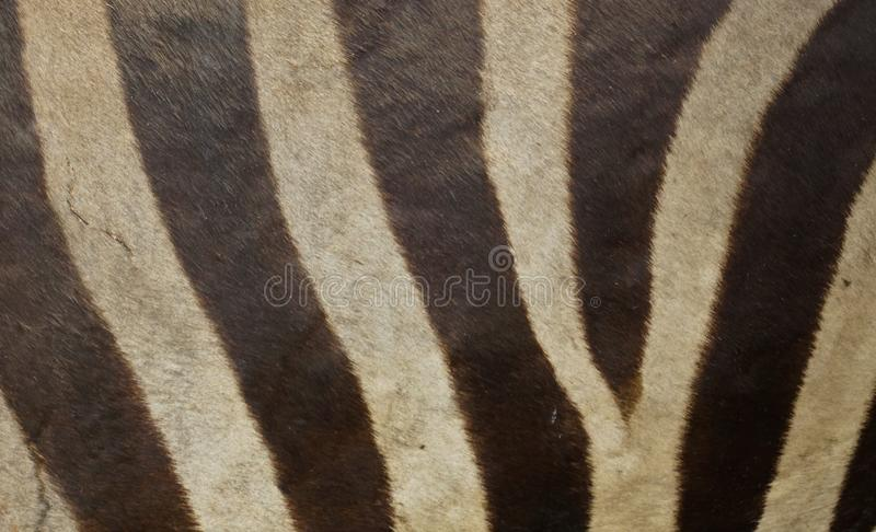Zebra skin texture royalty free stock photography