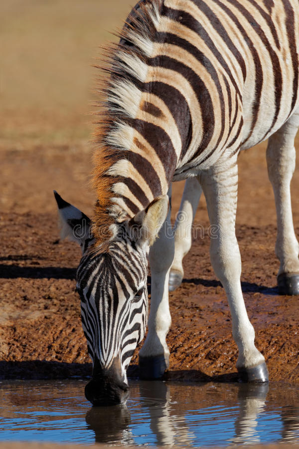 Download Zebra, SOuth Africa Royalty Free Stock Images - Image: 10895269