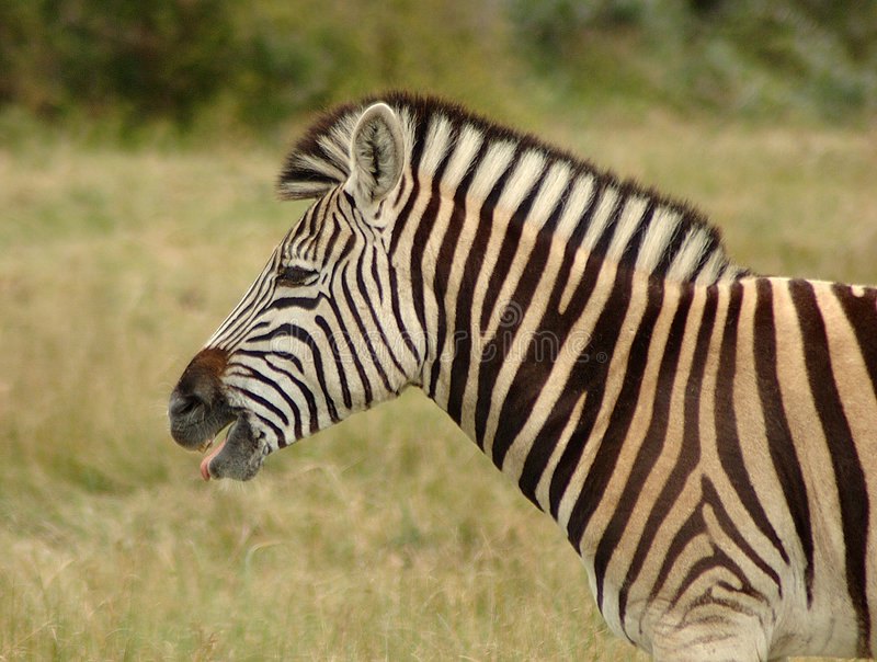 Download Zebra in South Africa stock image. Image of anke, botswana - 1191615
