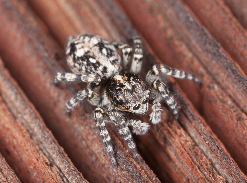 Zebra Spider Stock Images
