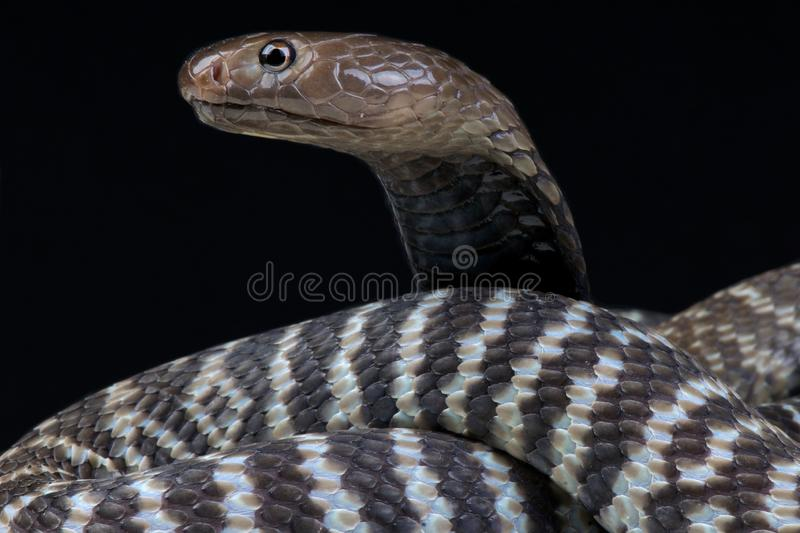 Zebra spitting cobra Naja nigricincta nigricincta. The Zebra spitting cobra Naja nigricincta nigricincta is a large, highly venomous, snake species that is stock image