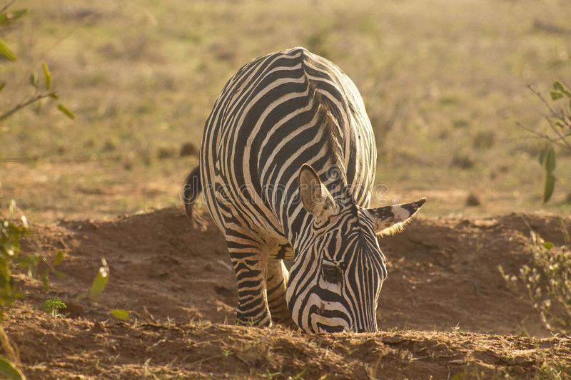 Zebra spotted in a game drive stock image