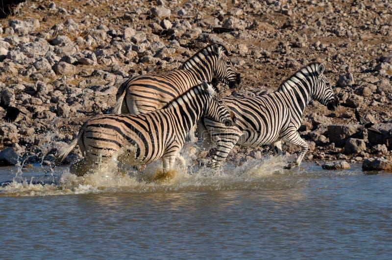 Zebra Stampede, Okaukeujo Waterhole Stock Image