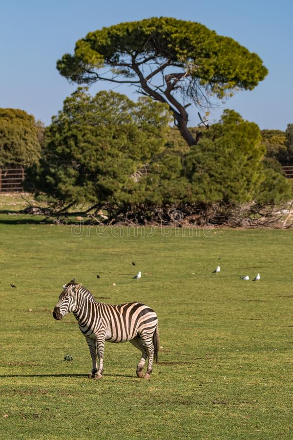 Zebra standing in front of the tree royalty free stock image