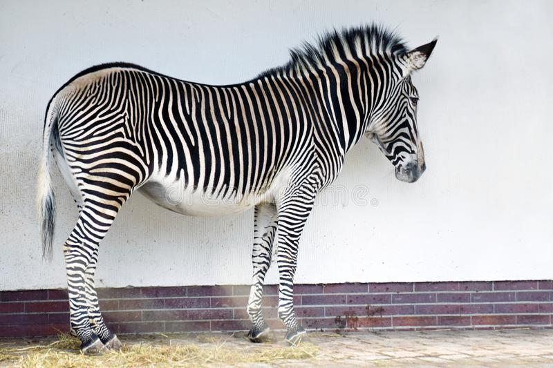 Zebra standing in front of a wall. stock photo