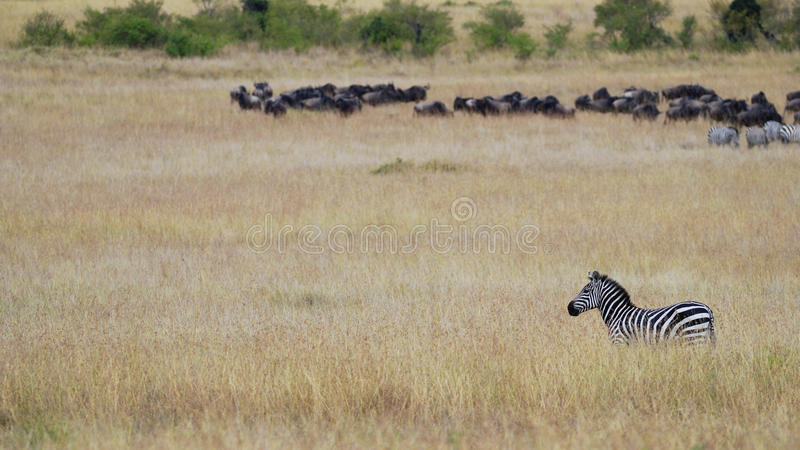 Zebra standing in the grass of the African savanna against the background of the herd of wildebeest gnu royalty free stock photo