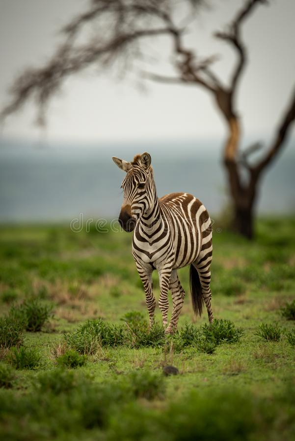 Zebra standing on grassy plain by tree royalty free stock image