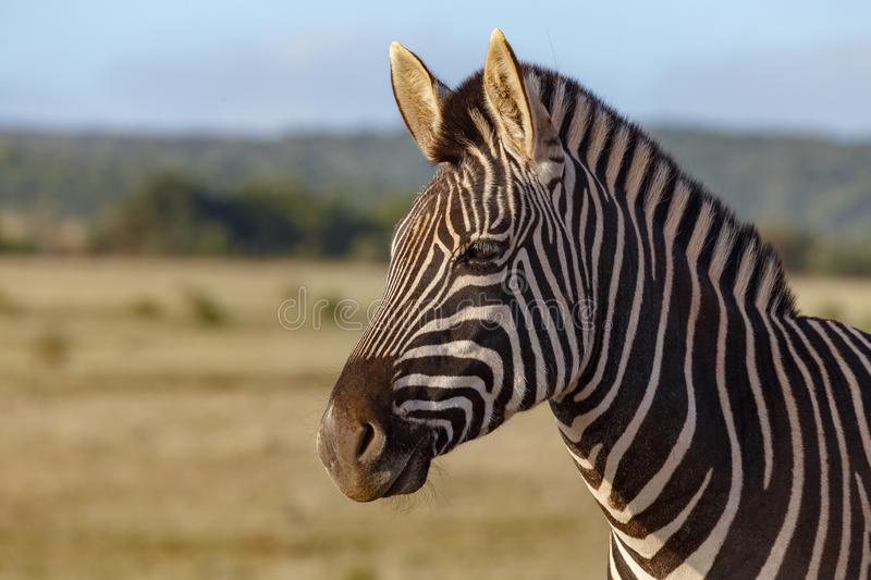 Zebra standing and thinking royalty free stock photo