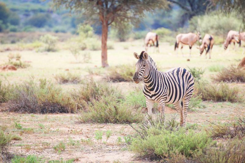 Zebra. A zebra standning on the savannah in Namibia royalty free stock photo
