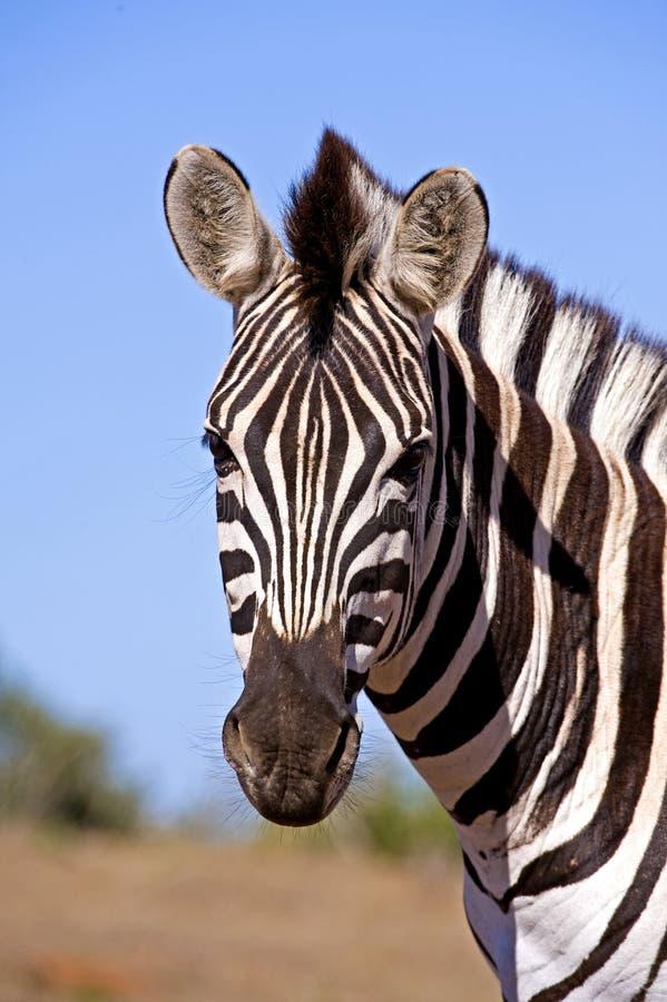 Download Zebra Stare stock image. Image of south, nature, safari - 12061767