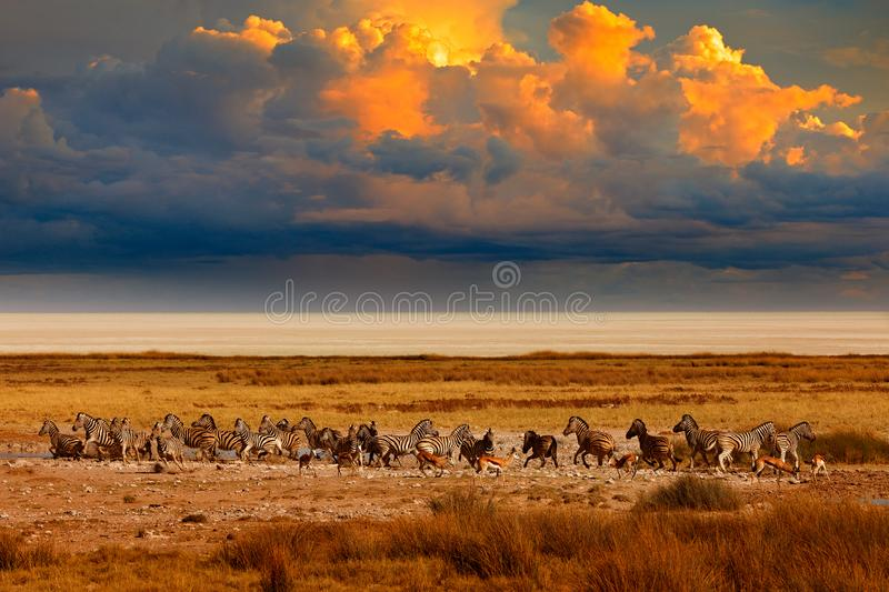 Zebra and storm evening sunset in Etosha Pan in Namibia. Wildlife nature, safari in dry season. African landscape with wild royalty free stock image