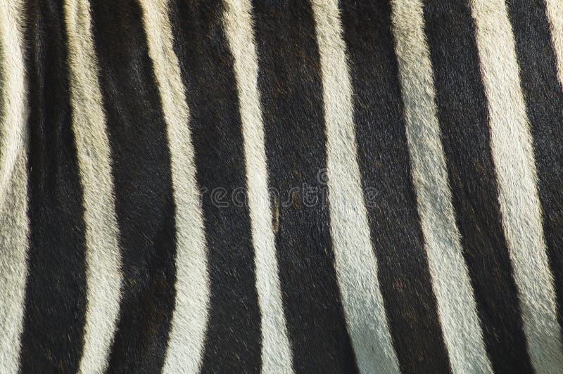 Zebra Stripes. Closeup of zebra stripes royalty free stock photos