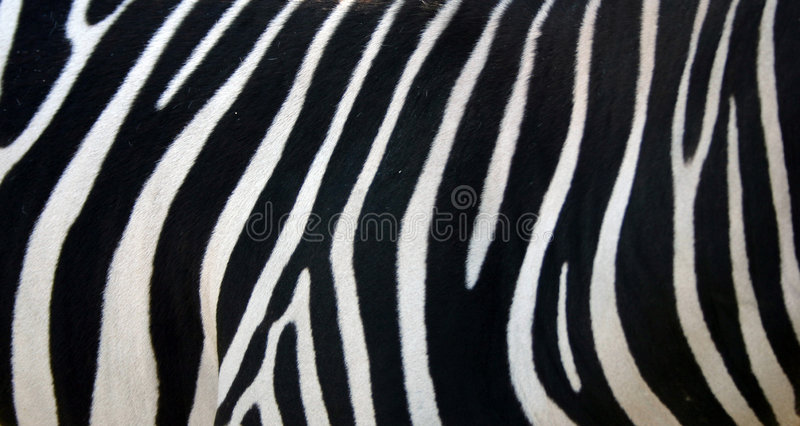 Zebra Stripes. Pattern Texture